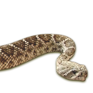 Crotalus atrox (Baird & G Crotalus atrox irard, 1853)